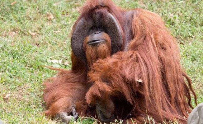 İşaret dili bilen orangutan hayatını kaybetti