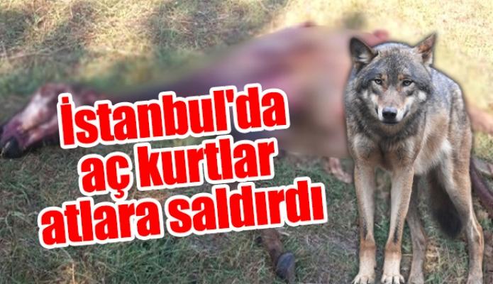 İstanbul'da aç kurtlar atlara saldırdı