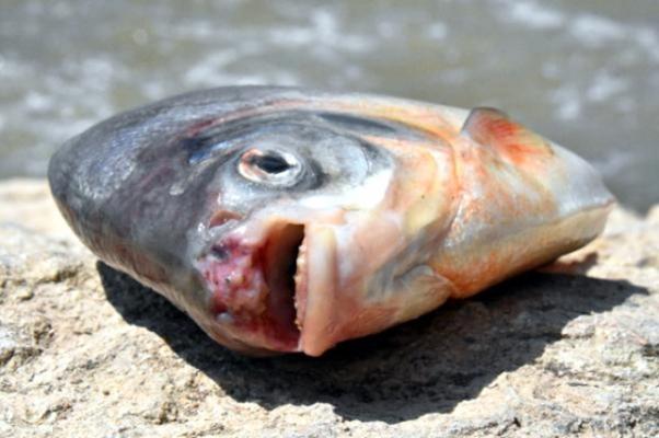 O balıkların sırrı çözüldü, Meğerse