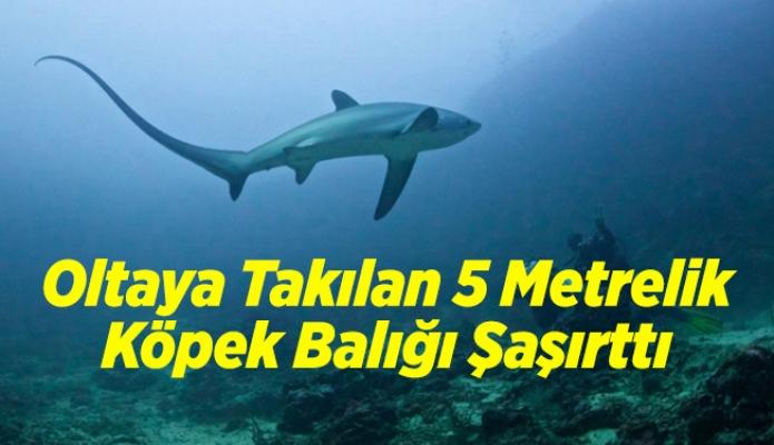 Oltaya Takılan 5 Metrelik Köpek Balığı Şaşırttı