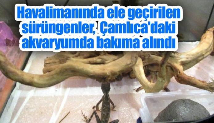 Havalimanında ele geçirilen sürüngenler, Çamlıca'daki akvaryumda bakıma alındı