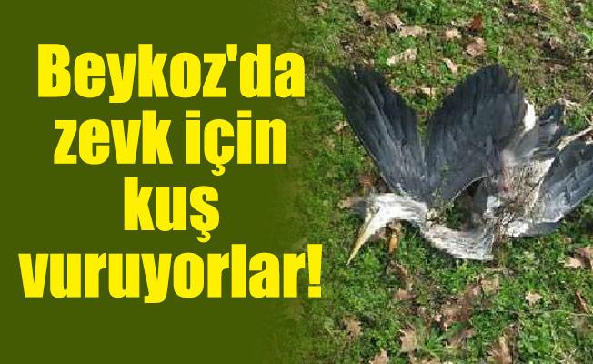 Beykoz'da zevk için kuş vuruyorlar!