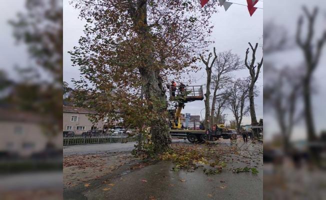 Beykoz'un Anıt Ağaçları Sağlığına Kavuşuyor