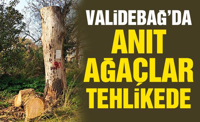 Validebağ'da anıt ağaçlar tehlikede