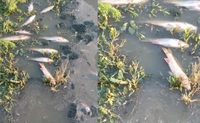 Ömerli Barajı'nda Balık Ölümleri Korkutuyor!
