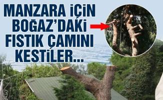 Manzara için Boğaz'daki fıstık çamını kestiler...