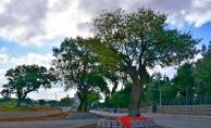 Asırlık ağaçlar korumaya alındı