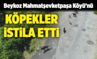 Beykoz Mahmatşevketpaşa Köyü'nü köpekler istila etti